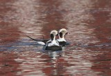 Long-tailed Ducks  Norway