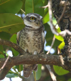 Spotted Owlet  Goa