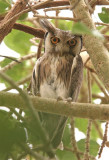 White-faced Scops Owl  Gambia