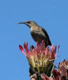 Cape Sugarbird
