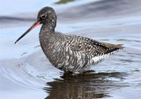 Spotted Redshank  Lesvos