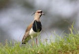 Southern Lapwing  Costa Rica