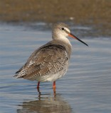 Spotted Redshank  England
