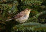 Melodious Warbler  Shetland