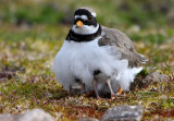 Ringed Plover  Yell    Sheltering Her Chick's