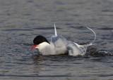 Artic Tern  Mainland