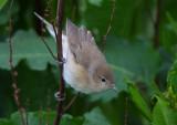 Garden Warbler  Mainland