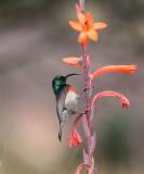 Greater double -collard Sunbird