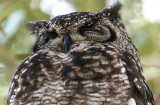Spotted Eagle Owl  South Africa