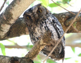 African Scops Owl  South Africa