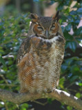 Great Horned Owl  Florida
