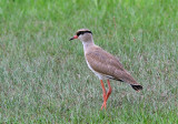 Crowned Lapwing  South Africa