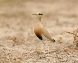 Temmicks Courser  Gambia