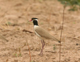 Black-headed Plover  Gambia