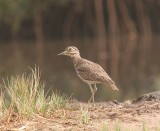 Senegal Thick-Knee  Gambia