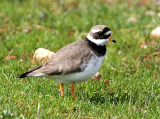 Ringed Plover   Scotland