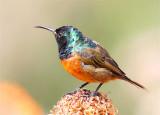 Orange-bellied Sunbird