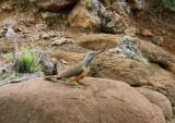 Ground Woodpecker   Lesotho
