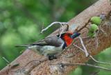 Black-colllared Barbet