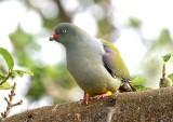 African Green-Pigeon