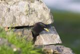 Starling  Mainland