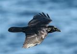 Raven  Mainland