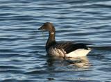 Brent Goose  Mainland