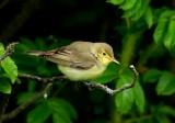 Icterine Warbler  Mainland