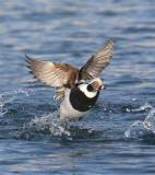 Long-tailed Duck  Norway