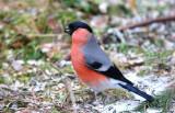 Bullfinch  (Northern)   Norway