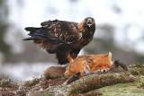 Golden Eagle   Norway