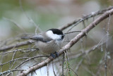 Willow Tit   Norway