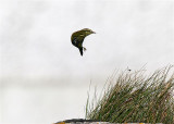 Yellow-browed Warbler  Mainland