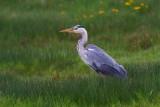 Grey Heron  Mainland