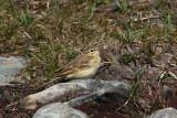 Tawny Pipit  Mainland