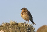 Meadow Pipit   Mainland
