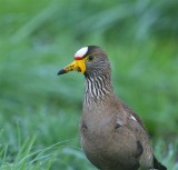 African Wattled Lapwing South Africa