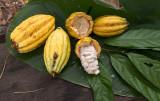 Cacao Still Life-2