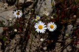 Patagonian daisies