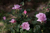 lovely colour rose