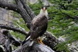 carancho bird (type of a vulture)