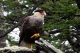 carancho bird
