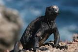 marine iguana on South Plaza