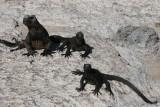 marine iguanas warming up on the rocks