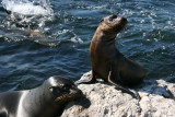 sealions on South Plaza