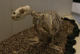 sealion skeleton
