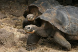 Galápagos tortoise is the largest living tortoise