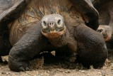 giant tortoises weigh ~ 300 kilograms (660lb) and measure 1.2 meters (4 ft) long