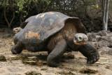 giant tortoise walking fast