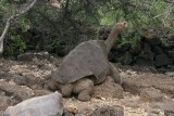 Lonesome George is the last known individual of the Pinta Island Tortoise